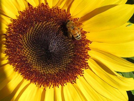 Sunflower, Bee, Garden, Flower, Yellow, Bloom, Insect