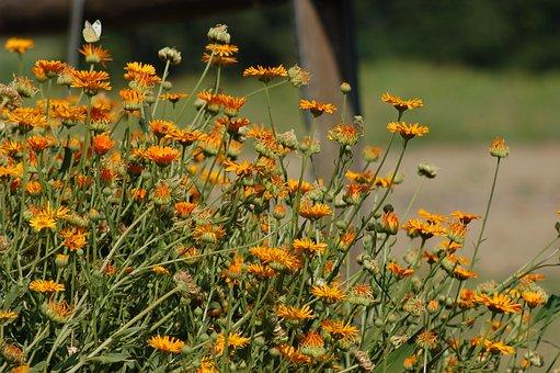 Flowers, Summer, Bloom, Calendula, Floral, Nature
