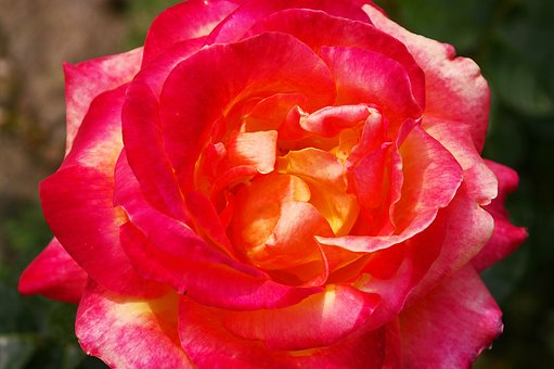 Rose, Beauty, Blossom, Bloom, Romantic, Fragrance