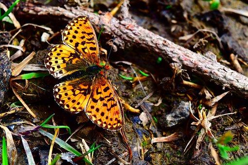 Butterfly, Alpine Fritillary, Insect, Butterflies