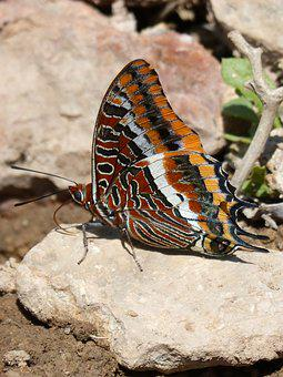 Butterfly, Charaxes Jasius