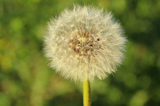 Dandelion, Flower, Seeds, Macro, Garden, Season