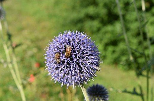 Echinops Bannaticus, Echinops, Blue, Thistle, Plant