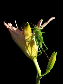 Tettigonia Viridissima, Female Larva, Last Larval Stage