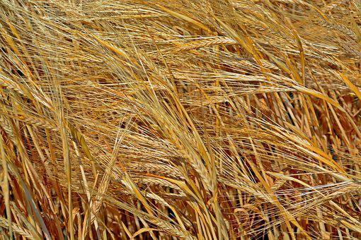 Cereals, Barley, Plant, Agriculture, Grain, Field