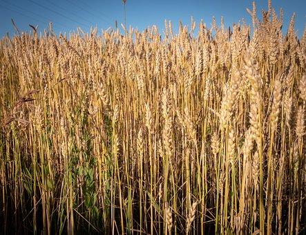 Field, Wheat, Summer, Wheat Field, Barley, Arable