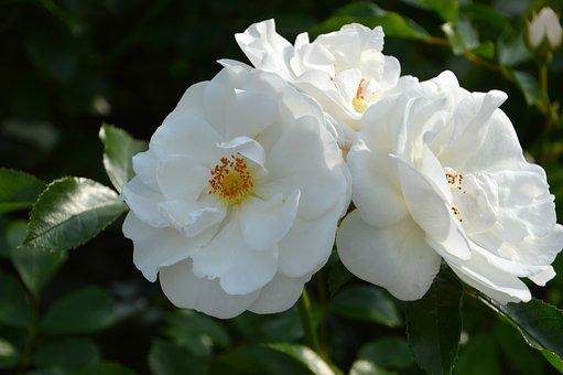 Rosebush, Flower, Petal, White Flower, Flora