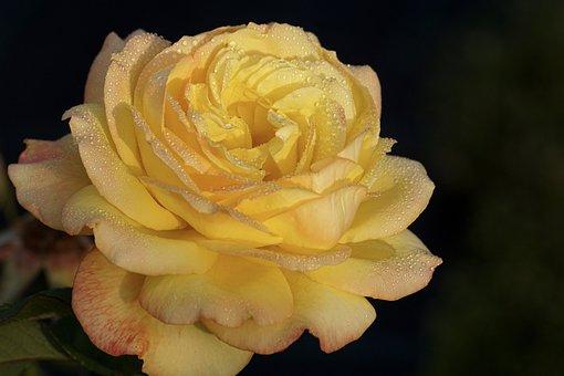 Rose, Yellow, Blossom, Bloom, Flower, Nature, Romantic