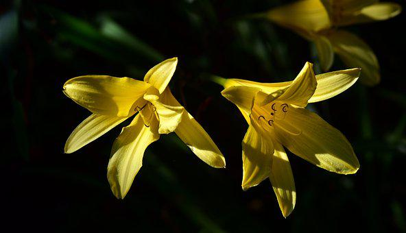 Lilies, Yellow, Flowers, Close Up, Bright, Plant