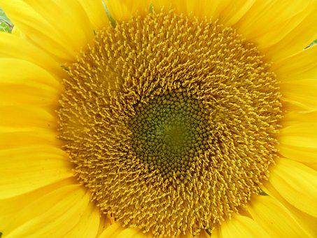 Sun Flower, Yellow, Sunflower, Flowers, Nature, Blossom