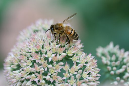 Blossom, Bee, Forage, Spring, Bloom, Insect, Plant