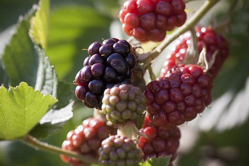 Blackberry, Ripe, Immature, Red, Black, Fruit, Healthy