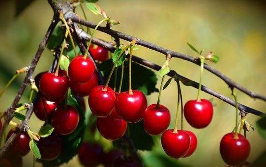 Cherries, Sour Cherries, Fruit, Fruits, Cherry Tree