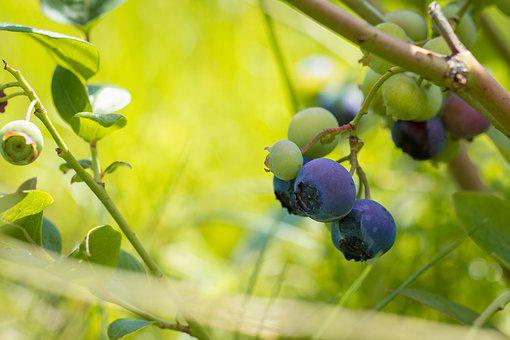 Blueberries, Mature, Ripening Process, Garden