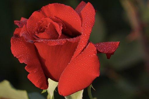 Rose, Red, Flower, Blossom, Bloom, Nature, Love, Garden