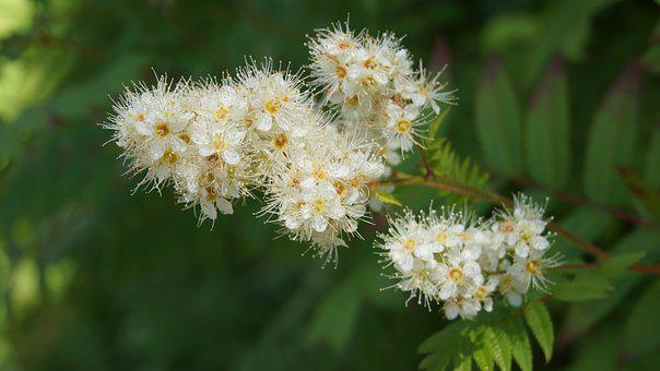 Angervo, Ornamental Shrub, Garden, White Flowers