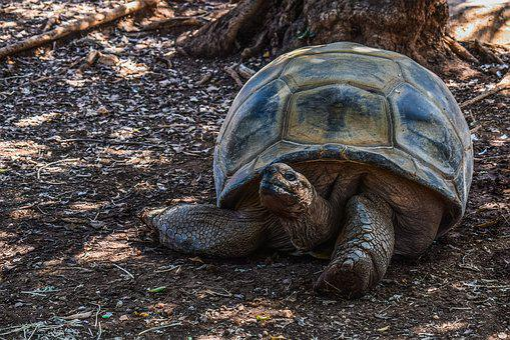Turtle, Giant, Reptile, Tortoise, Animal, Zoo