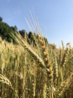 Ear, Wheat, Grain, Harvest, Cornfield, Cereals