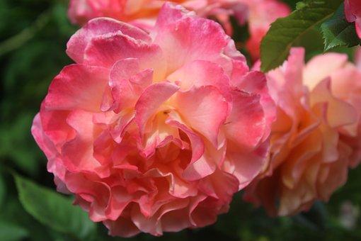 Rose, Flower, Pink Rose, Thank You, Greeting Card
