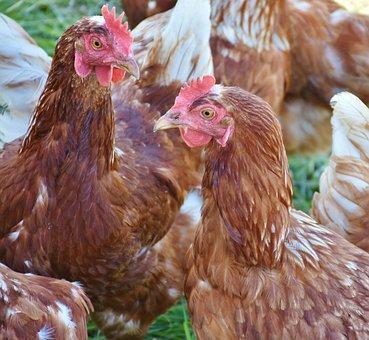Chicken, Hen, Laying Hens, Poultry, Animal, Bird