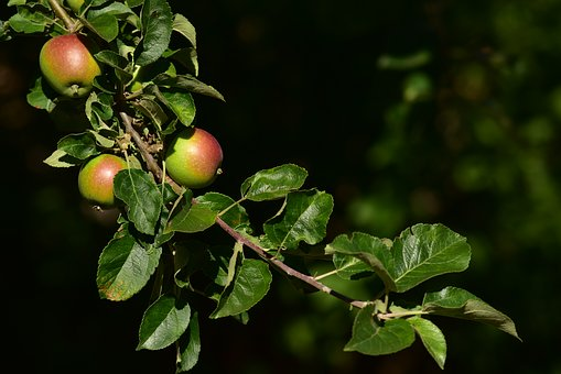 Apple Tree, Apple, Branch, Leaves, Nature, Healthy
