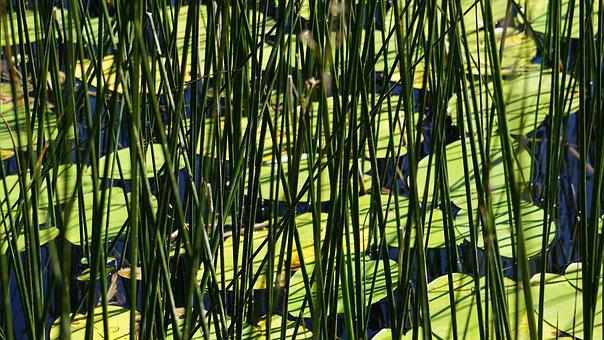 Abant, Lake Abant, Lotus, Reedy