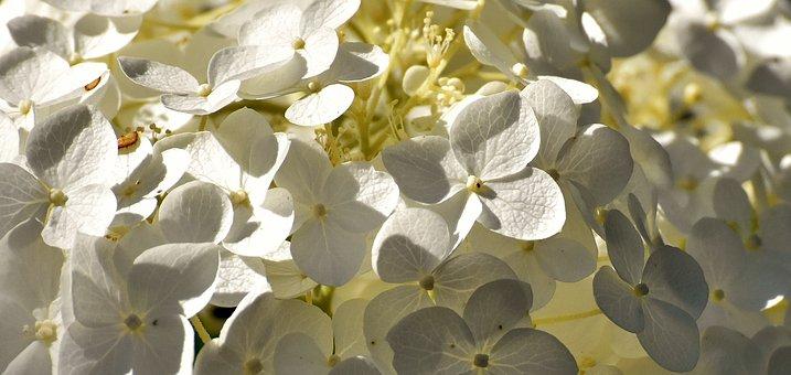 White Flower, Flora, Plant, Blossom, Bloom, Nature