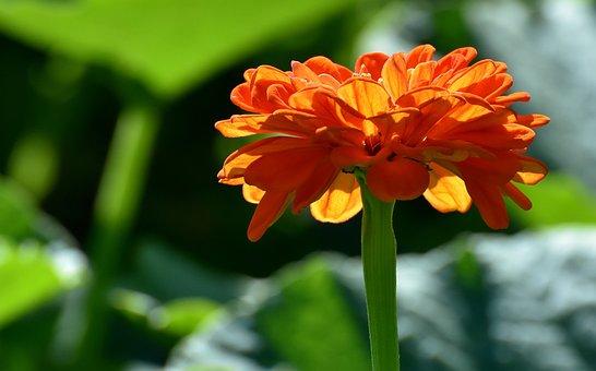 Flower, Orange, Summer, Plant, Petals, Rose Bloom
