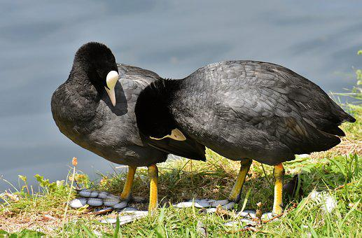 Coots, Smooch, Pair, Cute, Nature, Animal World