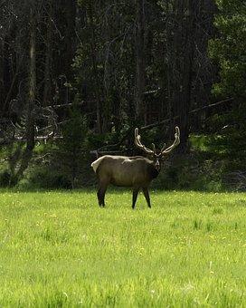 Elk, Bull, Velvet, Rocky, Mountain, National, Park