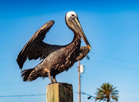 Pelican On Stump, Water Bird, Pelecanus Conspicillatus