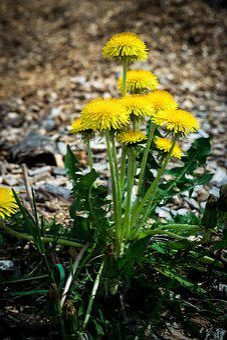 Nature, Plant, Flower, Leaf, Garden, Summer, Dandelion