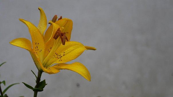 Flowers, Forsythia Flower, Yellow, Nature, Plants