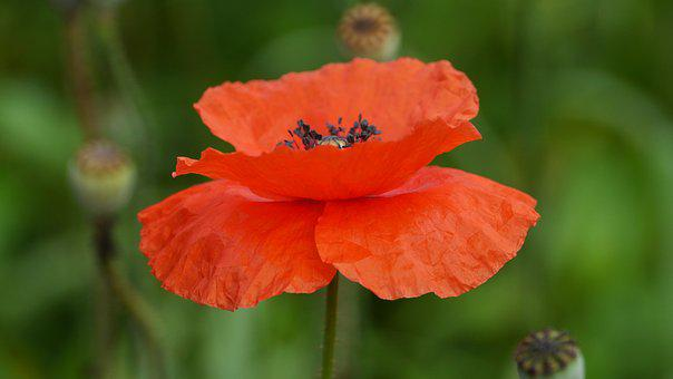 Poppy, Plants, Nature, Leaf, Summer, The Nature Of The