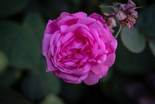 Rose, Romantic, Violet, Purple, Blossom, Bloom