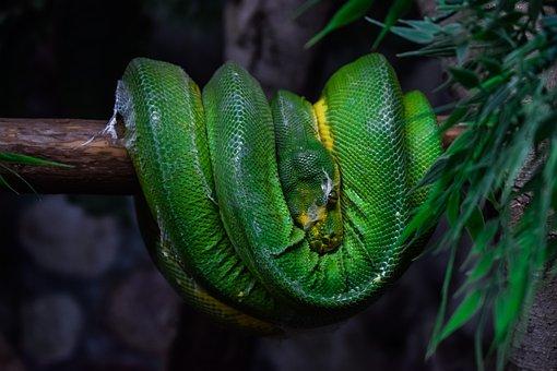 Green Tree Python, Snake, Animal, Reptile, Green