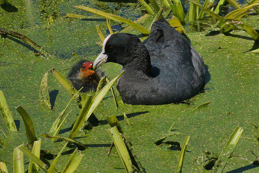 Coot, Young Coot, Feed, Waterfowl, Chicks, Spring, Boy