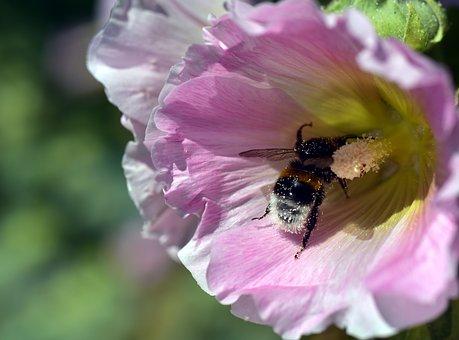 Stock Rose, Hollyhock, Mallow, Stock Rose Garden