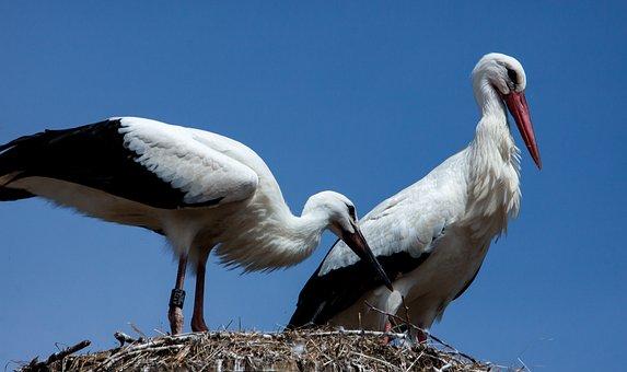 Stork, Storks, Animal, Rattle Stork, White Stork, Birds