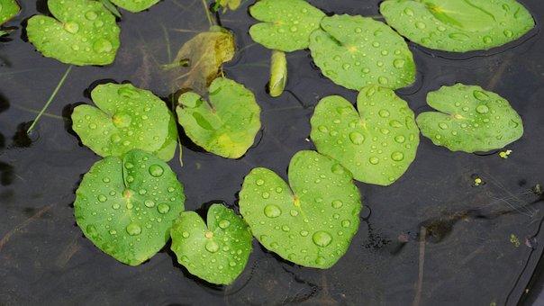 Lotus Leaf, Pond, Nature, Plants, Summer, Beautiful