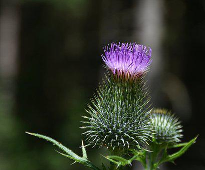 Thistle, Pappus, Flower Coronary, Acker Thistle, Flora