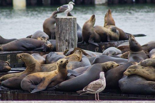Seal, Coast, Mammal, Animal, Nature, Water, Ocean