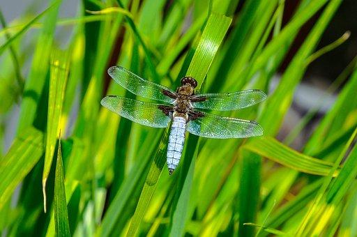 Libellula Depressa, Ważka, Dragonfly Płaskobrzucha