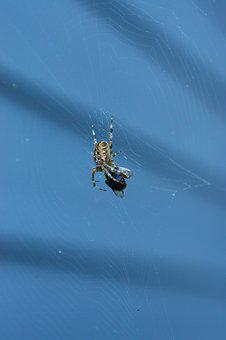 Spider, Insects, Arachnophobia, Web
