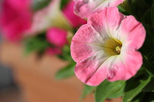 Petunia, Pink, White, Flower, Nature, Plant, Summer