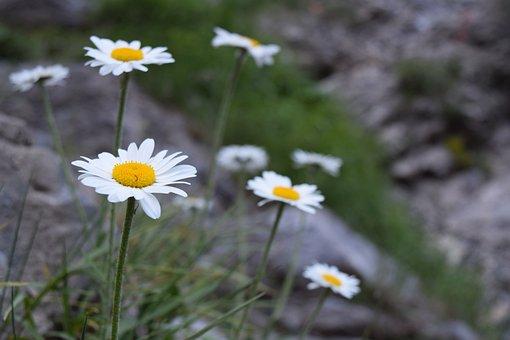 Daisies, Flower, Margarite, Wild Flowers, Blossom