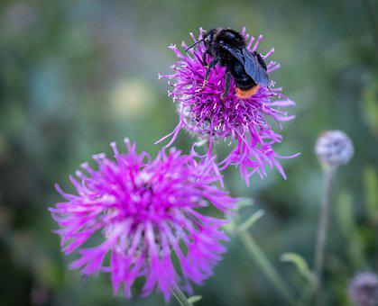 Hummel, Bee, Insect, Nature, Flower, Honey Bee, Summer