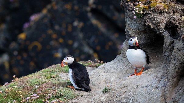 Puffins, Birds, Cliff, Puffin, Nature, Wildlife, Sea