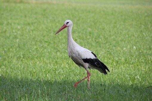 Nature, Animals, Birds Stork