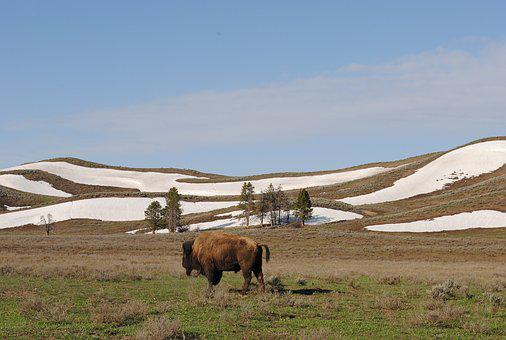 Bison, Yellowstone, National Park